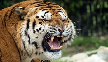 tigre Parco Zoo di Falconara